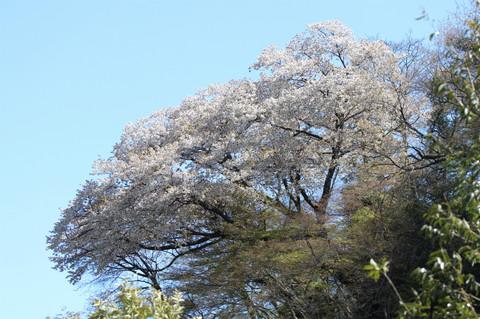 Yamazakura130322