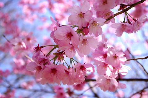 Sakura130323