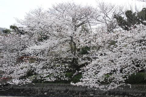 Hachimangusakura130324