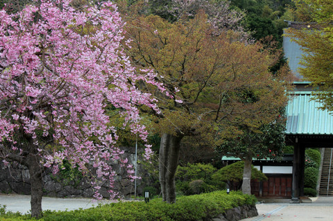 Kujojisakura1303304