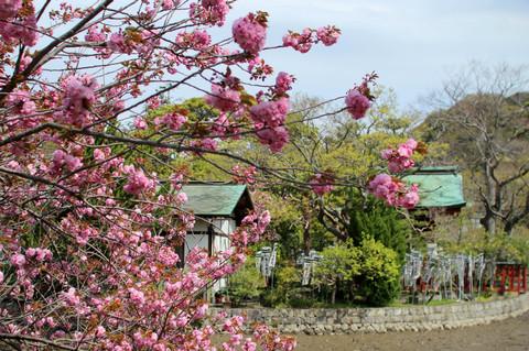 Hachimanguyaezakura130409