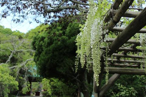 Kosokujifuji130425