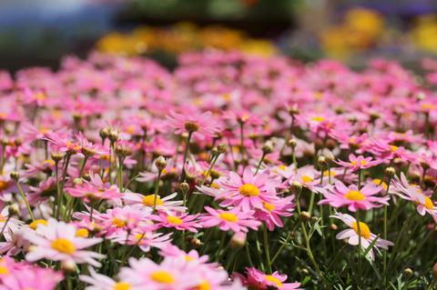 Flowerfesta1305084