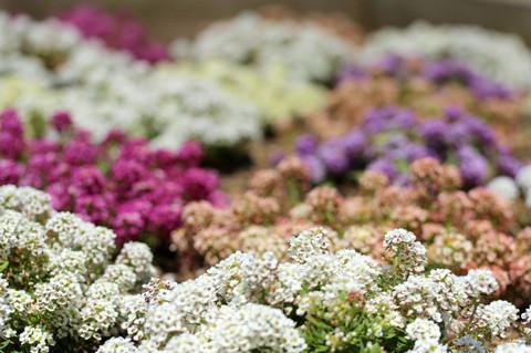Flowerfesta1305085