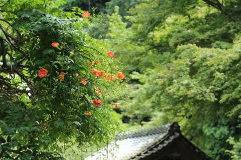 Myohonjinozenkazura1306273