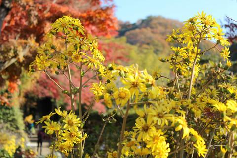 Kenchojituwabuki131201