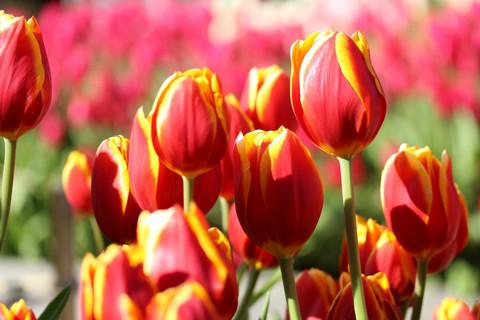 Tulip1401132