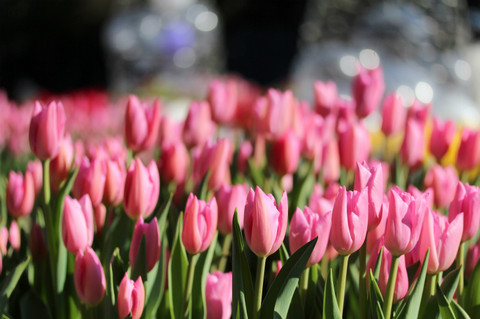 Tulip1401135