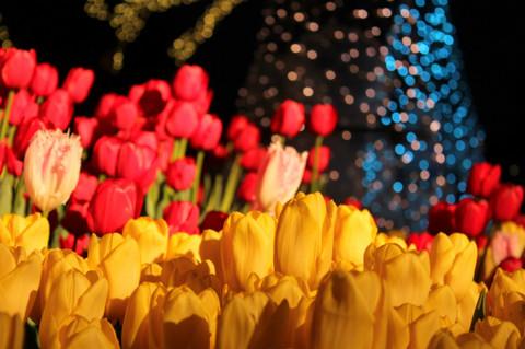 Tulip140124