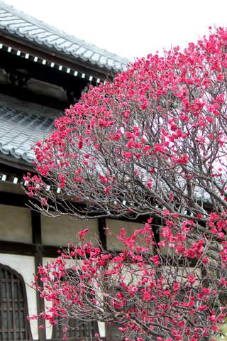 Hongakujiume1402212_2