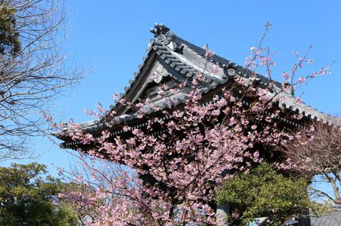 Hongakujikawaduzakura140307