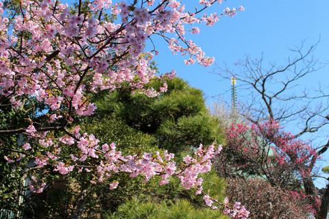 Hongakujikawaduzakura1403072