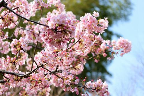 Hasederakawaduzakura1403092