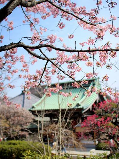 Hasederakawaduzakura140309_3