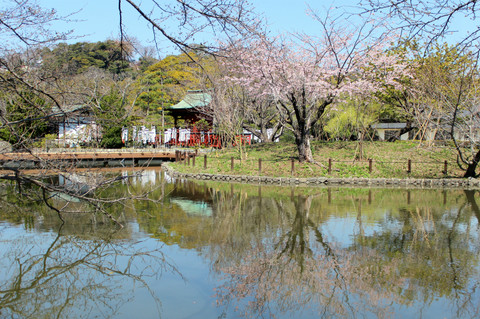 Hachimangukanzakura1403242