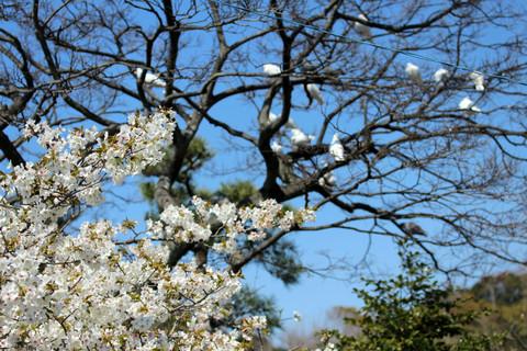 Hachimanguoshimazakura140324