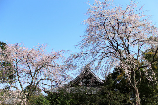 Ankokuronjisakura140328_2