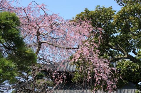Hongakujisakura1403282