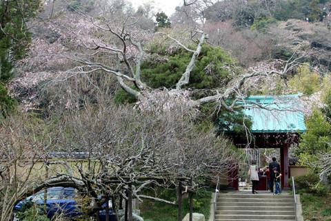 Kosokujisidarezakura140329