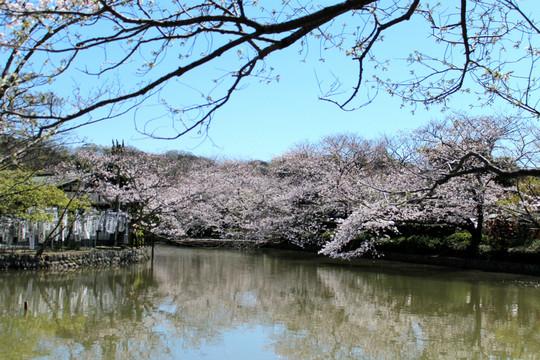 Hachimangusakura1403314