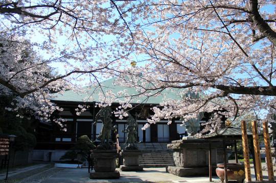 Choshojisakura140404