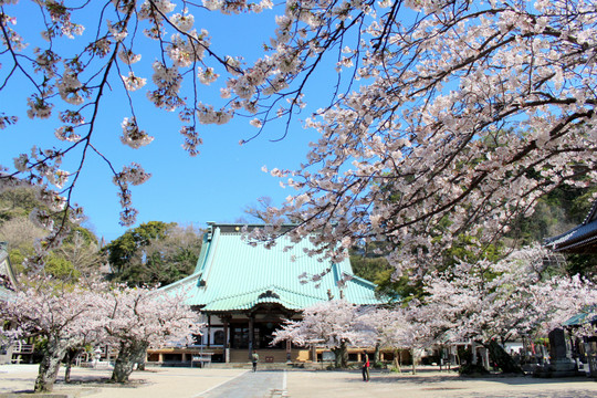 Komyojisakura140404