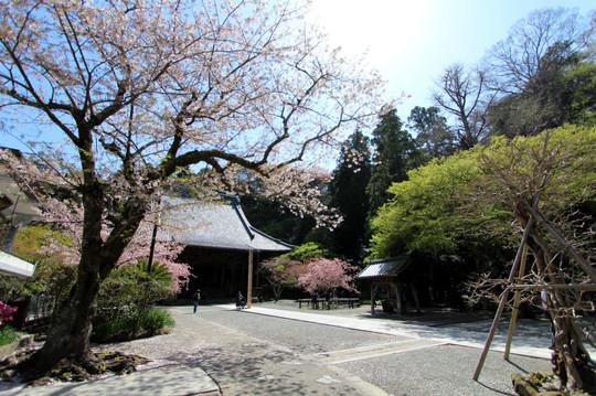 Myohonjisakura140407