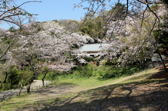 Kuzuharasakura1404083