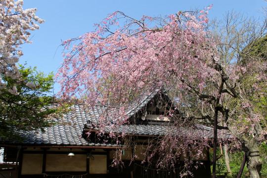 Kuzuharasidarezakura140408
