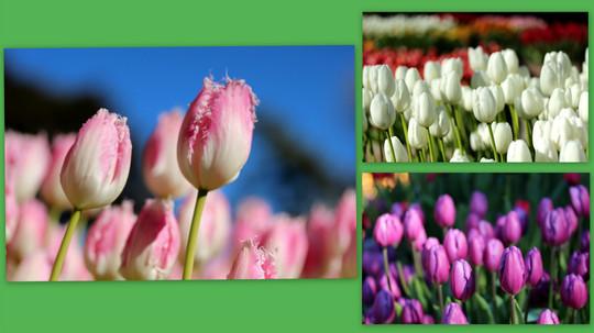 Tulip150113