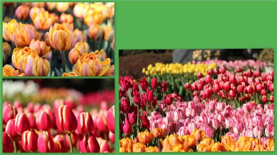 Tulip1501133