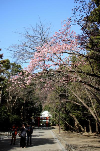 Hachimangusakura150228