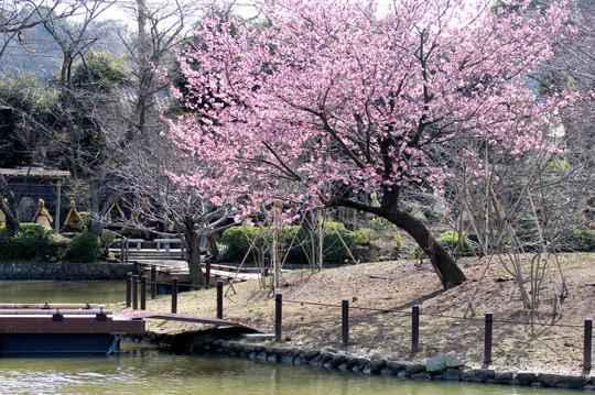 Hachimangusakura1502282