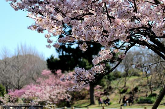 Fctamanawazakura1503133