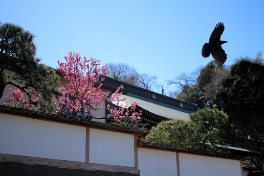 Kenchojihanamomo150324