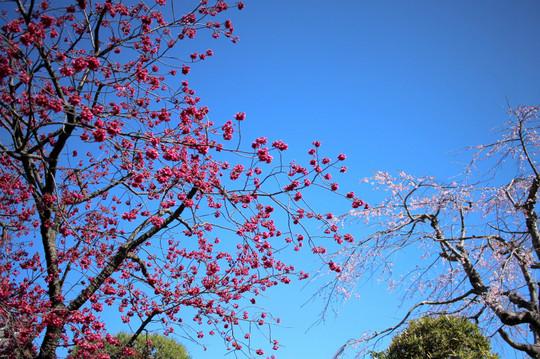 Koshojikanhizakura1503242
