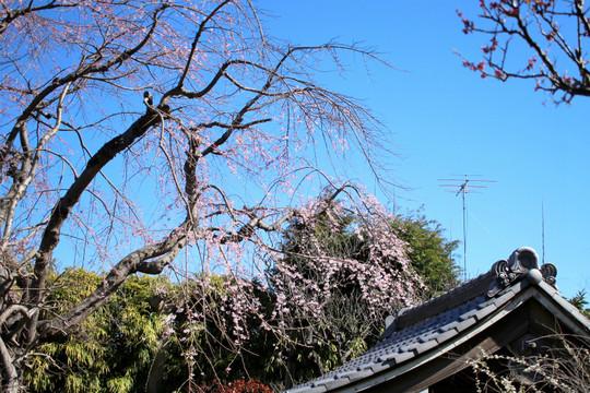 Koshojishidarezakura150324