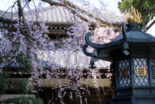 Hongakujishidarezakura1503264