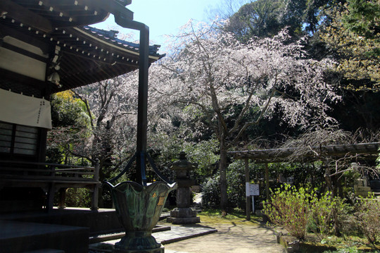 Ankokuronjisakura1503274