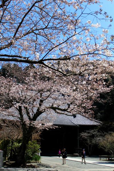 Myohonjisakura1503274