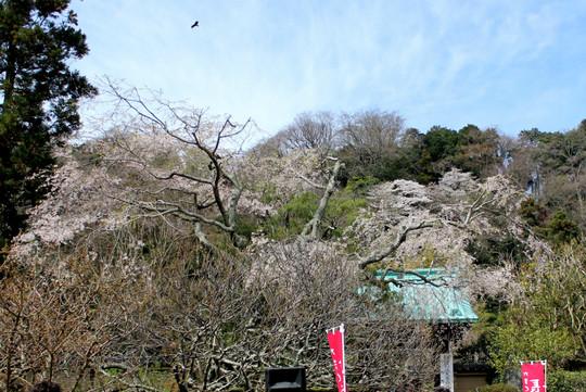 Kosokujishidarezakura150329
