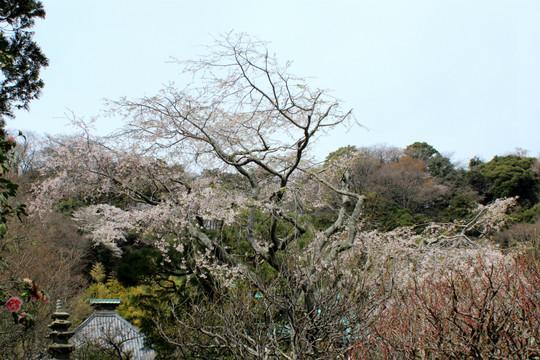 Kosokujishidarezakura1503292
