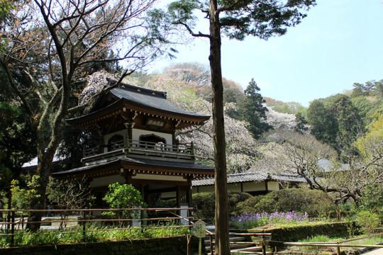 Jochijishidarezakura150406