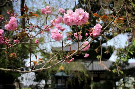 Hongakujiyaezakura150409