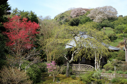 Kaizojiyamazakura150409