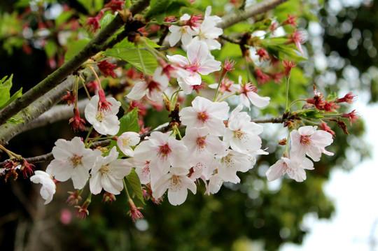 Hachimangushizukazakura150412