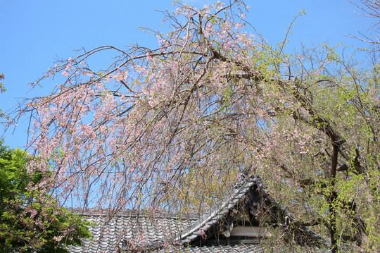 Kuzuharasidarezakura150416