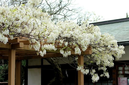 Hachimangufuji1504222