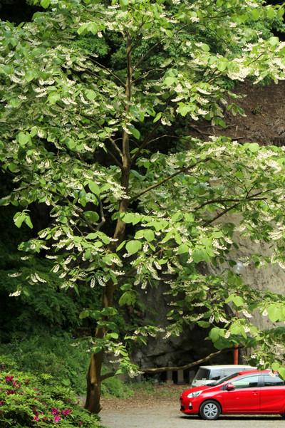 Jochijihakuunboku1505084