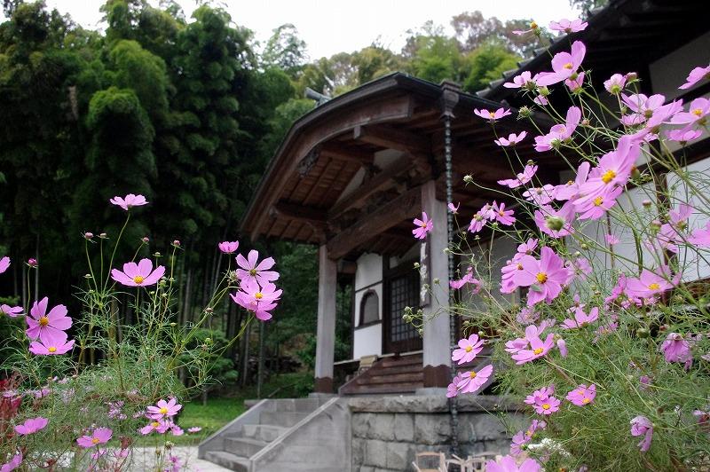貞宗寺のコスモス: 今日の鎌倉